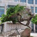 文石書院(澎湖孔廟)-造型極為奇特有個性的老樹照片
