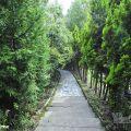清境柳杉步道照片