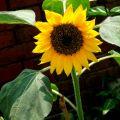 無米樂-向日葵照片