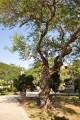 五妃廟-庭園內的老榕樹照片
