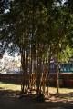 庭園內高大的竹