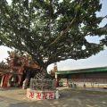天王聖帝公廟旁奇樹-天王聖帝公廟旁奇樹照片