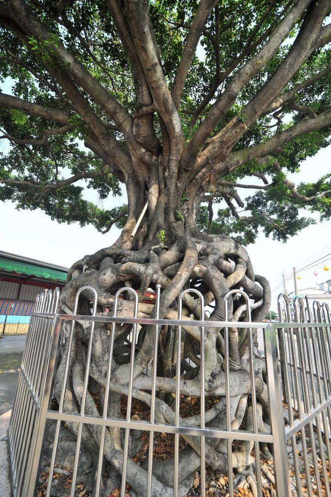 天王聖帝公廟旁奇樹主照片