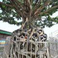 天王聖帝公廟旁奇樹照片