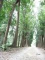新葳森林公園-桃花心木4照片