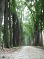 新葳森林公園-桃花心木5照片