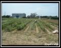 向陽農場-向日葵花園照片
