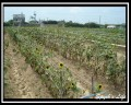 向陽農場-各種品種的向日葵照片