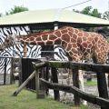 頑皮世界野生動物園-長頸鹿照片
