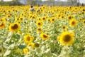 生產路花海-向日葵花海照片