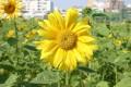 生產路花海-向日葵照片