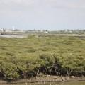 七股紅樹林保護區-拉近看紅樹林照片
