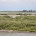 七股紅樹林保護區-拉近看停留在紅樹林上的白鷺鷥照片