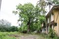 善化糖廠-糖廠內百年大樟樹2照片