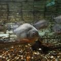 野柳海洋世界-食人魚照片
