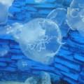 野柳海洋世界-海月水母照片