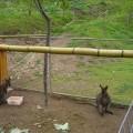 山上人家森林農場-農場內眷養的袋鼠照片