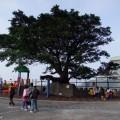 九份國小-珍貴老榕樹照片