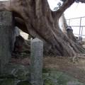 九份國小-校內老榕樹照片