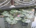 原生蓮花池