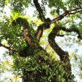 吳鳳廟 與 吳鳳成仁地-園區內造刑奇特的大樹照片