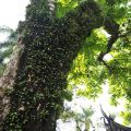 吳鳳廟 與 吳鳳成仁地-園區內爬滿樹藤的大樹照片