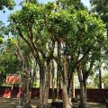 吳鳳廟 與 吳鳳成仁地-牽手樹照片