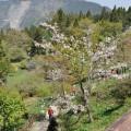 阿里山國家森林遊樂區-沼平公園1照片
