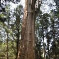 阿里山國家森林遊樂區-新阿里山神木照片