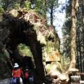 阿里山國家森林遊樂區-阿里山福德萬古樹照片