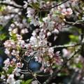 阿里山國家森林遊樂區-綻開的櫻花照片