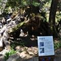 阿里山國家森林遊樂區-象鼻木照片