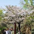 阿里山國家森林遊樂區-綻開的櫻花2照片