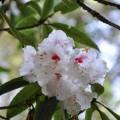 阿里山國家森林遊樂區-綻開的櫻花3照片