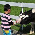 綠盈牧場-餵食小牛照片