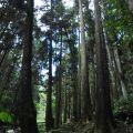 奮瑞步道(奮瑞古道)-步道沿途都是參天大樹照片