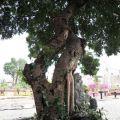鹽水武廟-廟旁的榕樹照片