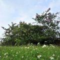吳鳳紀念公園-秋日籃天下怒放的野花照片