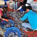 東石漁港(東石漁市)-漁獲交易2照片