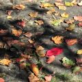沼平公園-秋日楓葉照片