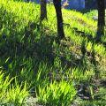 沼平公園-晨曦中翠綠的青草地照片