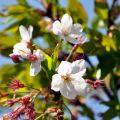 沼平公園-沼平公園的櫻花照片