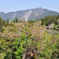 沼平公園-阿里山賞櫻最佳地點之一照片