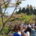 沼平公園-三月賞櫻季的人潮照片