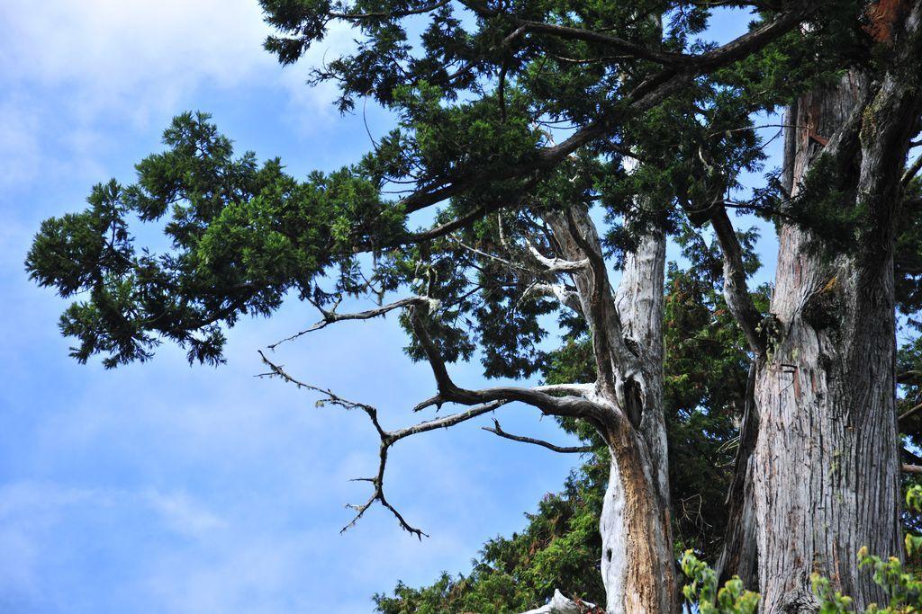 慈云寺 寺旁的松树照片