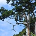 慈雲寺-寺旁的松樹照片