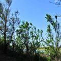 鰲鼓溼地-木麻黃照片