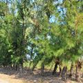 鰲鼓溼地-高大的木麻黃防風林照片