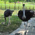 獨角仙休閒農場-駝鳥餵食區1照片