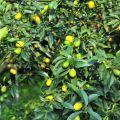 雲科生態休閒農場-結實纍纍的金桔照片